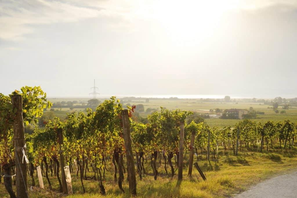 Weingärten in Podersdorf am See